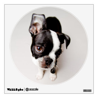 Edison Boston Terrier puppy. Wall Decal