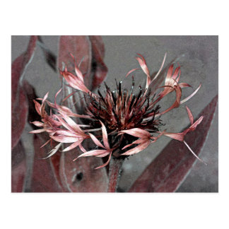 Edit of a Centaurea Montana Flower Postcard