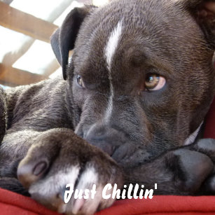 Blue Nose Pitbull Gifts on Zazzle
