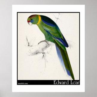 Edward Lear's Barnard's Parakeet Poster