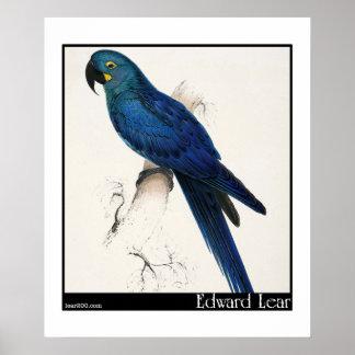 Edward Lear's Hyacinth Macaw Poster