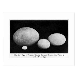 Eggs of feathered giants art postcard