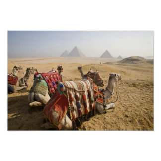 Egipto, El Cairo. Mirada de reclinación de los cam Poster