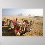 Egipto, El Cairo. Mirada de reclinación de los cam Póster