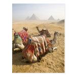 Egipto, El Cairo. Mirada de reclinación de los cam Postal