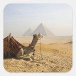 Egipto, El Cairo. Un camello solitario mira a Pegatina Cuadrada