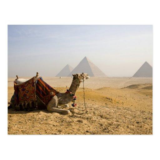 Egipto, El Cairo. Un camello solitario mira a Tarjetas Postales