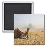 Egipto, El Cairo. Un camello solitario mira a trav Imán Cuadrado