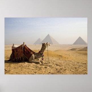 Egipto, El Cairo. Un camello solitario mira a trav Póster