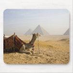 Egipto, El Cairo. Un camello solitario mira a trav Tapete De Raton
