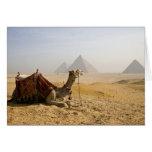 Egipto, El Cairo. Un camello solitario mira a trav Felicitacion