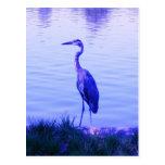 Egret azul de la garza postales