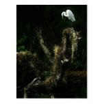 Egret blanco en la postal del roble