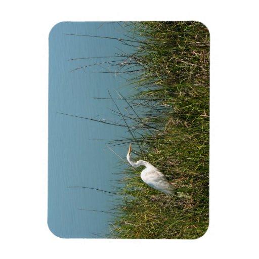 Egret blanco que se coloca en agua de la hierba w iman