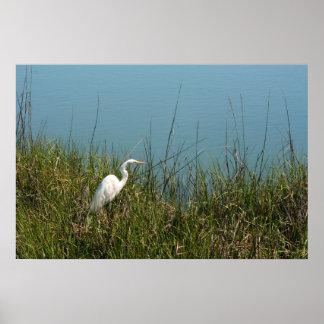 Egret blanco que se coloca en agua de la hierba w póster