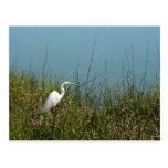 Egret blanco que se coloca en agua de la hierba w postal