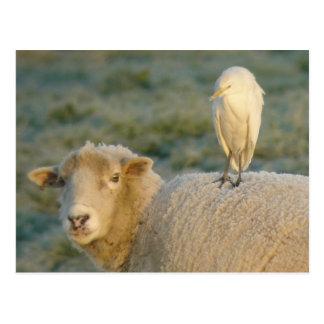 Egret de ganado en la postal de las ovejas