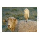 Egret de ganado en tarjeta de las ovejas