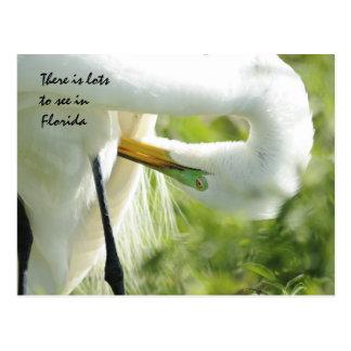 Egret de la Florida Postales