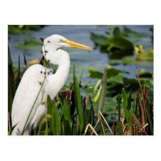 Egret de la Florida Tarjeta Postal