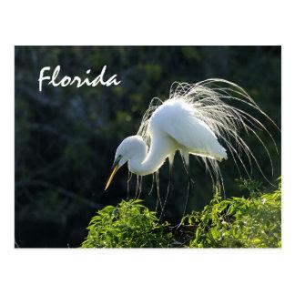 Egret de la Florida Tarjetas Postales