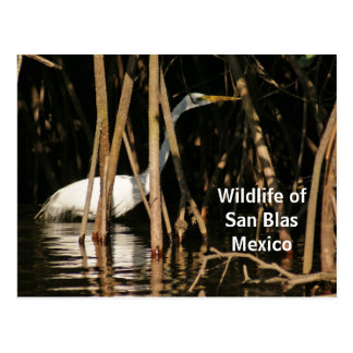 Egret en los mangles de San Blas Postal