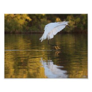 Egret en vuelo sobre la charca de oro cojinete