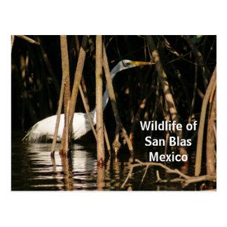 Egret in San Blas Mangroves Postcard