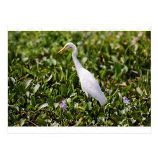 Egret in the Grass Postcard