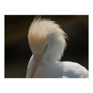 Egret Looking At You Poster
