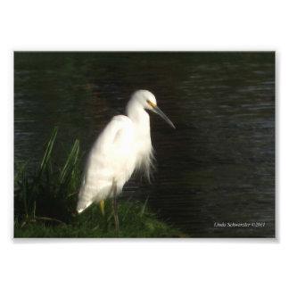 Egret nevado 5X7 Fotografía