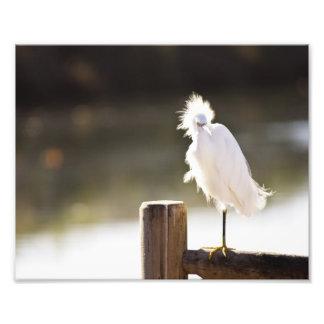 Egret nevado cojinete