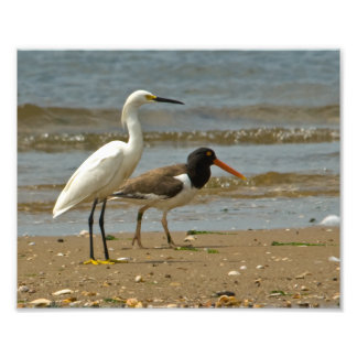 Egret nevado e impresión fotográfica del ostrero