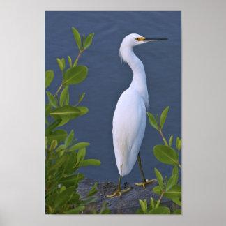 Egret nevado en el pantano póster
