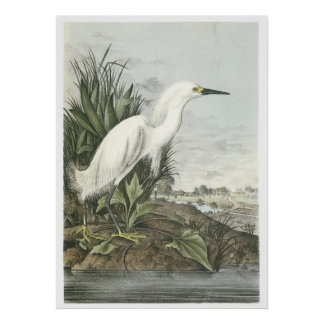 Egret nevado impresiones