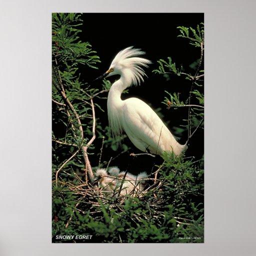 Egret nevado poster