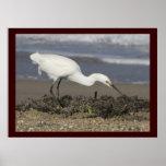 Egret nevado - retrato ambiental poster