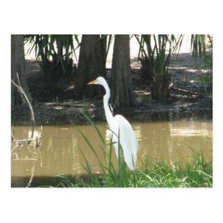 Egret nevado postal