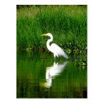 Egret, Río Oscuro, Lago Izabal, Guatemala Postales