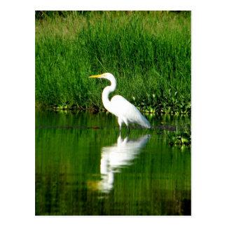 Egret, Rio Oscuro, Lago Izabal, Guatemala Postcard