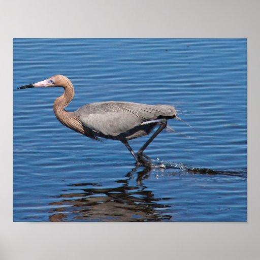 Egret rojizo impresiones