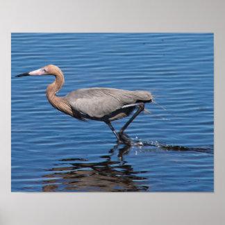 Egret rojizo póster