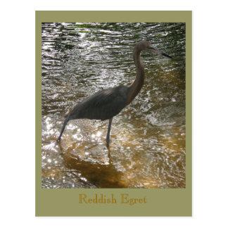 Egret rojizo postales