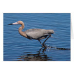 Egret rojizo tarjeton
