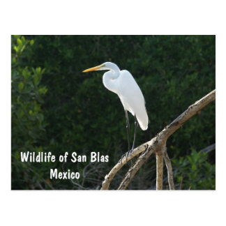 Egret, San Blas Mangroves Postcard