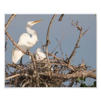 Egret y bebé blancos en la impresión de la fotografía