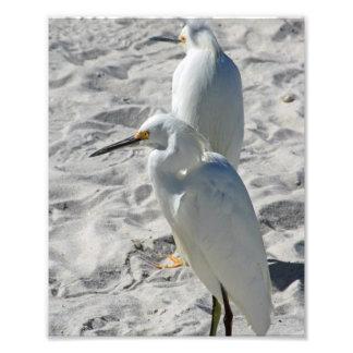 Egrets en la playa cojinete