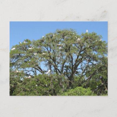 Egrets in a Tree Postcard