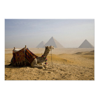 Egypt, Cairo. A lone camel gazes across the Poster