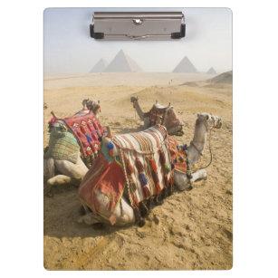 Egypt, Cairo. Resting camels gaze across the 2 Clipboard